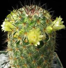 LITTLE STARS Mammillaria microhelia red or yellow flowers Cactus plant 70mm pot