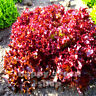 VEGETABLE - LOOSY LEAF LETTUCE - LOLLO ROSSO - 1000 SEEDS