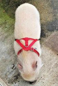 baSIX© Micro Pig Harnesses & Leashes - by piGGlz.com