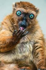 Sclaters Lemur Licking Gingers Photo Art Print Poster 24x36 inch