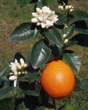 10 SEMI DI Arancio dolce - Citrus sinensis