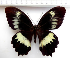 Papilio woodfordi ssp.woodfordi  Männchen  ex  Shortlands, SI,  n226