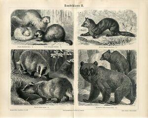1876 BROWN BEAR BADGER SABLE FERRET EUROPEAN POLECAT Antique Engraving Print