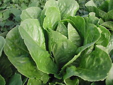 Parris Island Organic Lettuce Seeds- 1,000+   2017 Seeds    $1.69 Max. Shipping
