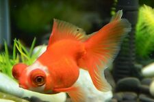 BUYGOLDFISHONLINE.COM Live Red/White  Butterfly Tail (L) for aquariums and ponds