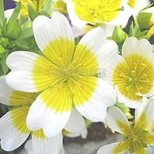 POACHED EGG PLANT 100 SEEDS (LIMNANTHES DOUGLASII) - good for bees