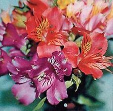 25+ ALSTROEMERIA DR. SALTERS MIX FLOWER SEEDS / PERUVIAN LILY / PERENNIAL