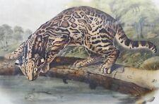 J.W. Audubon Quadruped Print No18 Plate Lxxxvi Ocelot or Leopard-Cat-Octavo Ed?