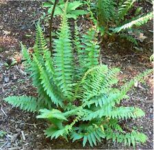 (3) Christmas Fern (Polystichum Acrostichoides)