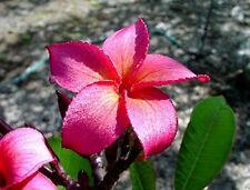 "5 Fresh Seeds Frangipani PLUMERIA RUBRA ""Irma Bryan"""