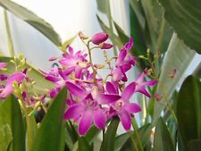 Rare Dendrobium 'Berry Oda' orchid plant FS  in bloom 6+ spikes