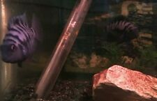 15 x Convict Cichlid - Tropical Fish - Beautiful and Hardy