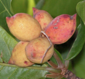 Almond tropical live Nut Tree Soft Shell Almond