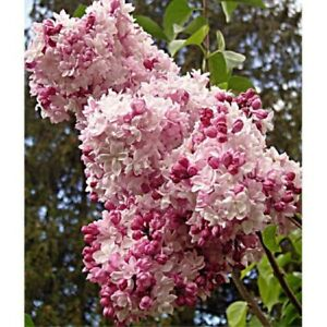 "SYRINGA 'SWEETHEART'- LILAC- FRAGRANT- PLANT- APPROX 10""- QUART-DORMANT"