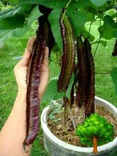 PURPLE WINGED BEAN GOA BEAN PRINCESS BEAN HEIRLOM ORANIC - Fresh Seeds - Rare -