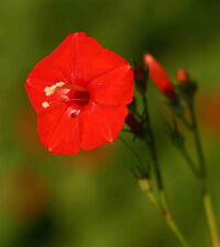Ipomoea hederifolia   Scarlet Morning Glory   10_Seeds