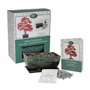 Bonsai Growing Starter Kit Liquid Amber with Pot Seed Soil Slate By Bees Gifts
