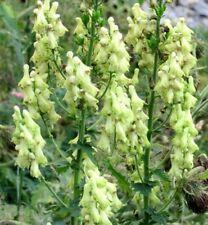 MONK'S HOOD White Wolfsbane Aconitum Vulparia Perennial Monkshood 20 Seeds