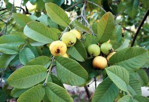 Organic Homemade Dried Guava Leaves Fresh Green Anti diabetic / Psidium Guajava.