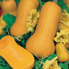 Semi di ortaggi-Butternut Squash-Waltham - 30 Semi