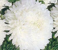 ASTER PAEONY DUCHESS WHITE Callistephus Chinensis - 100 Bulk Seeds