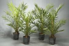 10pcs Phoenix Dactylifera Medjool Date Palm Seeds Mixed Bonsai Tropical Tree
