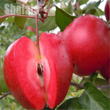 Red Apple Fruit Sweet Red Meat Potted Trees 30 Seeds/Pack Indoor Plant Garden