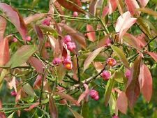 5 Spindle Hedging 2ft Tall, Euonymus Europaeus,Beautiful Pink Autumn Berries