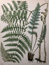 ANTIQUE PRINT BRITISH FERNS c1855 by FITCH REEVES NICNOL  LITHOGRAPH