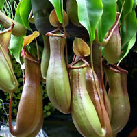 Live Plant Tropical Pitcher Carnivorous Nepenthes 'Alata' Plant