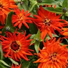 New! 30+ Giant Inca Orange Cactus Zinnia Flower Seeds / Long Lasting Annual