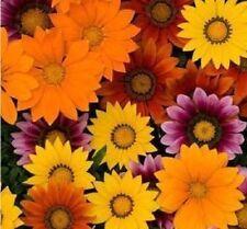 50 Gazania Seeds New Day Bright Mix Seeds Flower Seeds