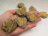Trilobite Fossil Golden Coronocephalus Tail jastrowi on Matrix Rock Ammonite HOT