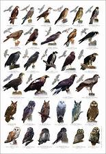 British Bird Of Prey Identification Chart Nature Poster