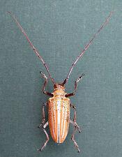 Beetle, Cerambycidae, ROSENBERGIA  Weiskei M ex Kerowagi, Papua New Guinea K2