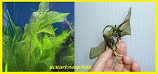 PIANTA DA Acquario. Aponogeton Madegascariensis