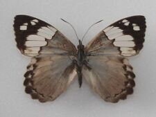 RARELY OFFERED Eunica eburnea - BRAZIL - Nymphalidae butterfly