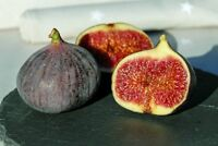x5-Ficus-carica-Common-Fig-Tree-Maltese-Black-Fig-Cuttings  x5-Ficus-carica-Comm