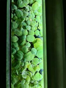 10 Dwarf Water Lettuce