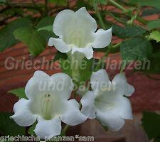 Enredadera gloxinea Blanco asarina erubescens RARO 20 semillas