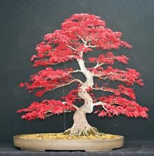 Japanese Red Maple Bonsai Tree Seeds, Home Garden Maple Tree, UK Stock