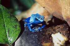 789064 Blue Arrow poison Frog A4 Photo Print