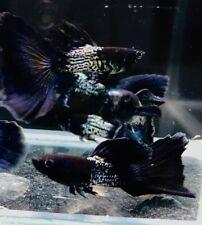1 Trio -Metal Black - Live Aquarium Guppy Fish - Premium Grade A