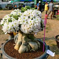 50 pcs Adenium Obesum Seeds Desert Rose Perennial Flower Garden Bonsai Plant EB