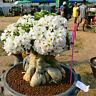 50 pcs Adenium Obesum Seeds Desert Rose Perennial Flower Garden Bonsai Plan TB