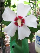 Hibiscus syriacus mixed colors Rose of Sharon shrub/tree 300 seeds see pics