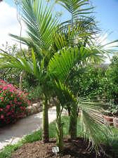 Bangalow palm, king palm, elegant palm, Archontophoenix cunninghamiana, 16 seeds
