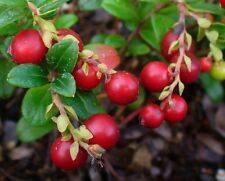 FR117 Lingonberry x20 seeds Partridgeberry Cowberry Mountain Cranberry Jams