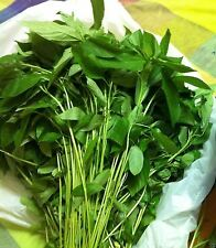 100 Jute Seeds, Egyptian Spinach,Saluyot, Molokhia, Plant Spring Or Summer