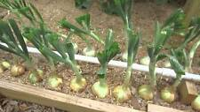 200+TEXAS GRANO 1015Y ONION Organic Non-Gmo Seeds Short Day Spring/Fall Garden